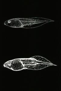 tadpole2