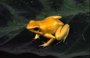 Golden Dart-frog (c) Andrew Gray