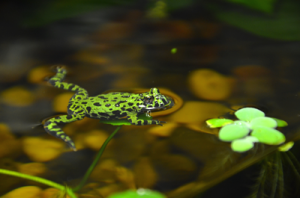 fire_bellied_toad