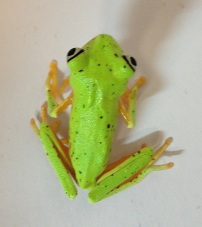 Lemur leaf frog, showing green resting colouration