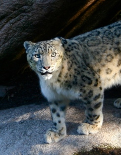 Maintained in natural conditions, more snow leopards reproduce at Norden's Ark than anywhere else in the world. (c) Andrew Gray