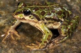Nanorana pleskei; Tibetan Frog