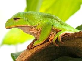 Trinidadian Monkey Frog, Phyllomedusa trinitatis, at Manchester Museum