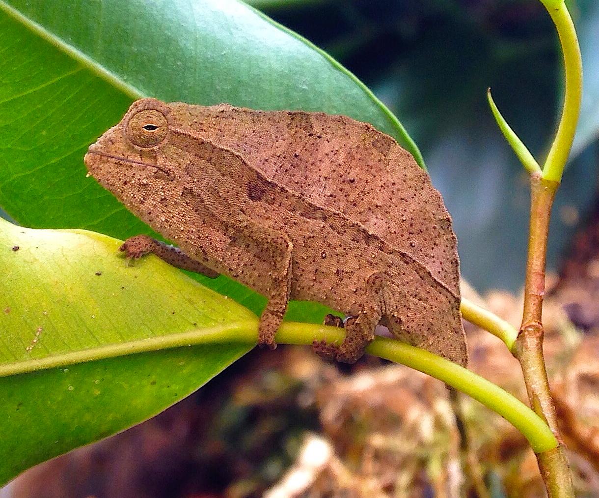 Pygmy Leaf Chameleons Frog Blog Manchester