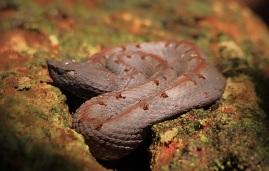 Hog-nosed Pit Viper, Porthidium nasutum (c) Amanda Bamford
