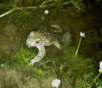 Natterjack toad (Epidalea calamita)            © Matthew O'Donnell