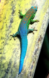 Phelsuma cepediana[2]