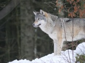 Wolf, Canis lupus (c) Andrew Gray