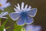 Common blue 12