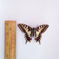 Swallowtail (Papilio machao) © Matthew O'Donnell