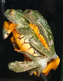 Craspedopus amplexus 2
