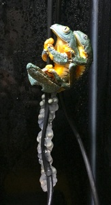 Craspedopus spawning (c) A Bland
