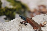 Blue-throated keeled lizard (Algyroides nigropunctatus)