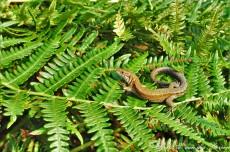 Viviparous lizard (Zootoca vivipara)