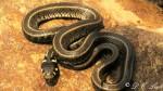 Grass snake subspecies (Natrix natrix persa)