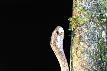 Blunt-headed Slug Eating Snake (Aplopeltura boa) © Matthew O'Donnell