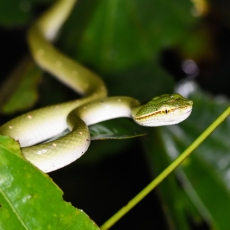 Bornean Keeled Green Pit Viper (Tropidolaemus subannulatus) © Matthew O'Donnell