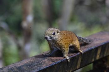 Slender squirrel (Sundasciurus tenuis) © Matthew O'Donnell