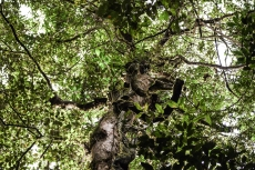 Tree covered in epiphytes © Matthew O'Donnell