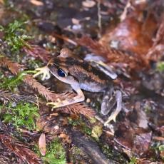 Mountain Litter Frog (Leptobrachium montanum) © Matthew O'Donnell