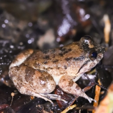 Kuhl's Creek Frog - (Limnonectes kuhlii) © Matthew O'Donnell