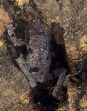 Theloderma rhodoscum