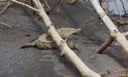 American Crocodile(Crocodylus actus)©Matthew O'Donnell